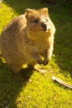 quokka from rottnest island. Happiest creature in the world.
