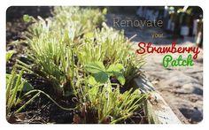 Pruning Strawberries