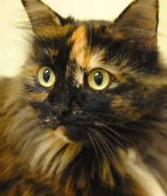 For Adoption- Petfinder- Name: Dawn,  Location: Florida- About: Dawn is a darling, longhaired torti girl who wins the award for Most Cuddly Feline.