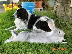 My husband and I are looking at expanding our farm.  This is a Flemish Giant.  No, this is not photoshopped, the rabbits really do get that big. Flemishes have great temperaments but need loads more space than your average bunny.