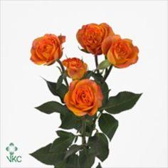 spray rose abeba