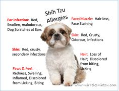 Shih Tzu Allergies?  Does Your Tzu Suffer?  Find out more at http://miracleshihtzu.com/shih-tzu-allergies.html