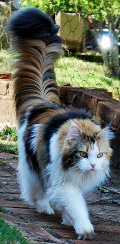 Chat avec une queue majestueuse