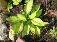 This hosta is called Alice in Wonderland.I love it!Lime green inner leaf trimmed with dark green