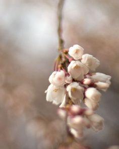 Flower photography, wall art, home decor, nature photography, spring photo, pink brown saffron violet purple mauve lavender cherry blossom