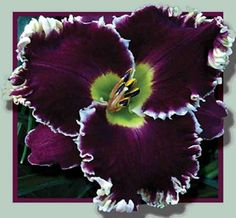 Larry's Obsession daylily
