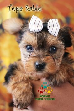 Available Micro Teacup Yorkies* Toy Yorkie Puppies* Yorkie Terrier Puppies *Parti Yorkie Puppies *Chocolate Yorkie Puppies *Merle Yorkie Puppies *Socal Yorkie Teacup Puppies Pomeranian Puppies For Free, Yorkies For Sale, Yorkie Puppy For Sale, Puppies For Sale, Yorkie Puppies, Yorkie Breeders, Toy Yorkie, Teacup Yorkie, Teacup Puppies