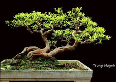 Bonsai- The Bonsai tree is symbolic of Japanese culture and ideals