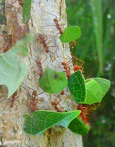 Image Detail for - leaf cutter ants