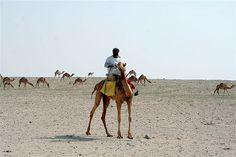 Desert, camels