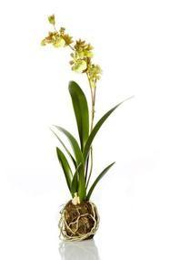 "16.5"" Decorative Artificial Green Silk Odontoglossum Orchid Drop Plant"