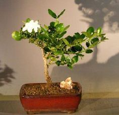 "The World of Real Bonsai by Oxemegifts.com-The Natal Dwarf Plum is a semi-tropical evergreen, bearing fragrant, star-shaped white flowers and, following pollination, dark red edible plum-shaped fruit. Easy indoor care.7 years old, 9"" tall.Flowering and fruiting bonsai tree grown and trained by Bonsai Boy of New York.Suitable humidity/drip tray is recommended. To purchase add .Added recommended Humidity/Drip Tray"