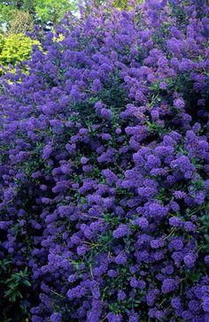 California lilac. Ceanothus 'Tilden Park'.
