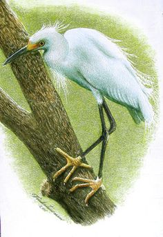 Venkateswaran Krishnan, Snowy Egret