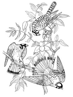Three Sparrow Hawk On Tree Coloring Page From American Kestrel Category Select 30198 Printable Crafts Of Cartoons Nature Animals Bible And Many