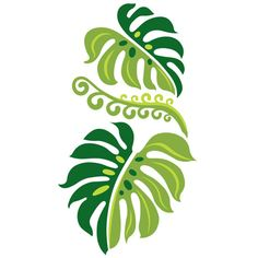 """The Monstera Deliciosa is type of taro vine very common in Hawaii. Sometimes referred to as a """"swiss cheese plant"""" due to the perforation patterns it develops, the heart shaped leaves are a sturdy variety that travel far over ground or up raised surfaces, trailing behind long, stringy root systems."""