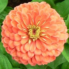 Salmon Queen Zinnia Seeds -Zinnia elegansA gorgeous color variety of the California Giant Zinnias, this Salmon Queen is one of the more unique colors of Heirloom Zinnia Seeds we offer. Excellent as a garden plant or cut flower, Salmon Queen Zinnias will produce a bloom up to 4 inches across!A favorite of crafters, florists and gardeners alike, Zinnias are easy to grow annuals, preferring warm weather and full sun!