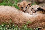 Two lions born in January play with their mother at the zoo in Cali, Valle del Cauca department, Colombia