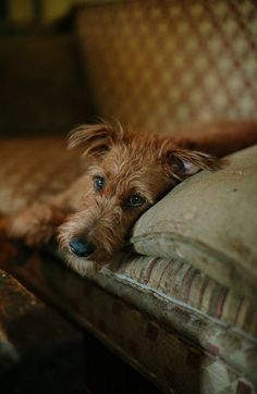 Irish Terrier..  Looks Like Banjo's Bro.