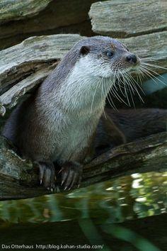 He glances around…. | Anatomy Of An Otter Heist