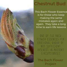 Bach Flower Remedy - CHESTNUT BUD Healing Herbs, Natural Healing, Chestnut Bud, Bach Flowers, Workout For Flat Stomach, Health Recipes, Alternative Health, Homeopathy, Reiki