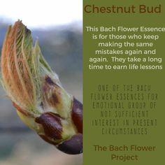 Bach Flower Remedy - CHESTNUT BUD