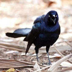Great-tailed Grackle at Houston Zoo