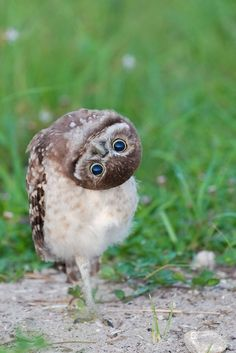 How cool is this photo of a Burrowing Owl? These owls from Washington are making their way to Canada, where the birds are endangered, to participate in the country's owl breeding program. Animals And Pets, Baby Animals, Funny Animals, Cute Animals, Funny Owls, It's Funny, Angry Animals, Hilarious, Funny Humor