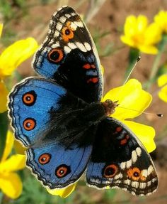 Image result for blue argus butterfly images