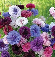 Shade Garden Flowers And Decor Ideas Centaurea Cyanus Or Cornflower, Tall Double Mixed, Annual Uses: Borders, Cut Flowers, Dried Flowers Sun: Full Sun Height: 30 Inches Spread: Inches Sowing Method: Indoor Sow Bloom Duration: 8 Weeks To Spread Or Pla Colorful Flowers, Beautiful Flowers, Spring Flowers, Purple Flowers, Happy Flowers, Tropical Flowers, White Flowers, Cut Flower Garden, Flower Gardening