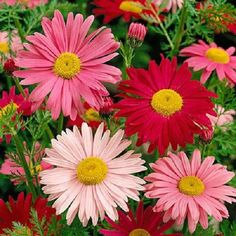 100-ROBINSONS-PAINTED-DAISY-Chrysanthemum-Flower-Seeds