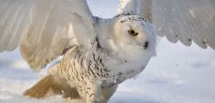 This Wildlife Wednesday, learn about the Arctic snowy owl, and why there have been sightings in BC. alive.com #WildlifeWednesday
