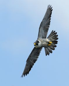 Peregrine Falcon All Birds, Birds Of Prey, Pretty Birds, Beautiful Birds, Falcon Tattoo, Raptor Bird Of Prey, Falcon Hawk, Brust Tattoo, Bird Identification