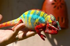 George - Ambilobe Panther Chameleon