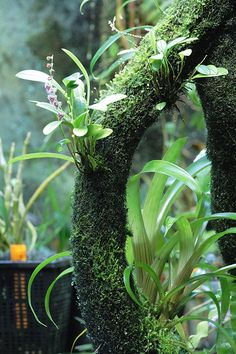 How For Making Your Landscape Search Excellent Stelis Eublepharis Var. Rosea By Mikaels Orchids Miniature Orchids, Plant Fungus, Decoration Plante, Orchids Garden, Orchid Plants, Terrarium Plants, Orchid Terrarium, Paludarium, Orchidaceae