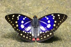 Japanese emperor, or Great purple emperor (Sasakia charonda) Butterfly Images, Butterfly Wings, Bee Moth, Goliath Beetle, Purple Animals, Moth Caterpillar, Hiragana, Special Pictures, Paisajes