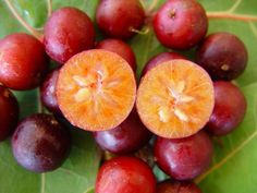 Paniala Fruit - Flacourtia jangomas, Indian coffee plum, is a lowland and mountain rain forest tree in the Salicaceae or Willow Family.