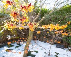 """Witch hazel (Hamamelis) - Fragrant in summer, witch hazel puts out clusters of spidery red-and-yellow flowers that blaze like little suns in the midst of winter. You'll want to find the right place in your garden for this sizable shrub — it can grow up to 15 feet tall and nearly as wide. Plant witch hazel in the fall."" Winter Plants 