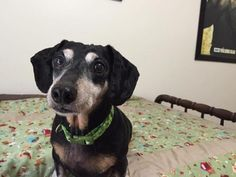 Mr. Wilson is an adoptable Dachshund Dog in Florence, KY Meet Wilson - Mr. Wilson if you're feeling formal! He is a senior citizen - likely around 9-10y ... ...Read more about me on @petfinder.com