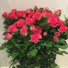 Roses from Dounan Kunming China