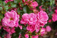How to care for container roses in winter?  Jak przezimować róże w pojemnikach?
