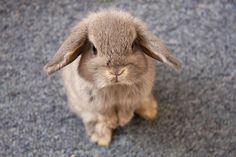 cute, habbit, rabbit