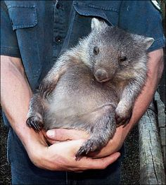 Wombat!!!! Can't wait to see one in Australia!