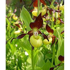 Garten Orchidee Cypripedium Calceolus ☆ Freiland Frauenschuh Orchideen bereit zu pflanzen: Amazon.de: Garten