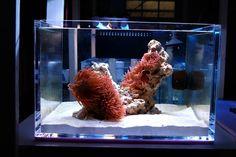imcosmokramer's bubble tip anemone reef tank