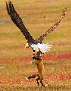 Photographer Shoots Epic Battle Between Fox And Eagle Over Rabbit, And It Gets More And More Epic With Each Photo | Bored Panda