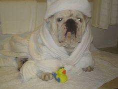 Pampered #pooch after the bath  #English #Bulldog