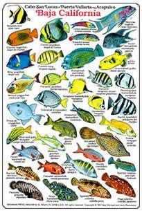 baja california reef fish | Baja California Identification and Dive Slate