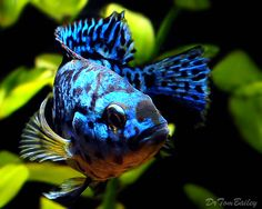 Electric Blue Jack Dempsey, South American Cichlid.