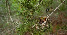 Pássaro alimenta filhotes na base militar de Fort Hood, no Texas (EUA). Na primavera, cerca de 5.000 casais de vireos, uma ave em extinção, saem do oeste do México para construir seus ninhos em carvalhos na base militar